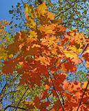 Jaskrawi jesień liście dąb klenolistny przeciw niebieskiemu niebu obrazy stock