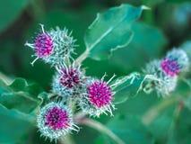 Jaskrawi, kłujący kwiaty na zaniechanym polu, Zdjęcie Stock