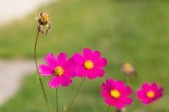 Jaskrawi kolorowi kwiaty w ogródzie zdjęcia royalty free