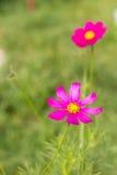 Jaskrawi kolorowi kwiaty w ogródzie zdjęcie stock