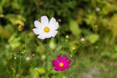 Jaskrawi kolorowi kwiaty w ogródzie zdjęcie royalty free