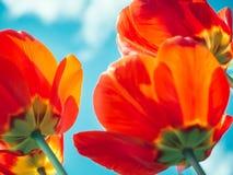 Jaskrawi, kolorowi tulipany na tle wiosny niebo, obrazy stock