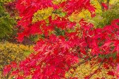 Jaskrawi kolory jesieni drzewa Fotografia Royalty Free