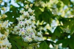 Jaskrawi kwiaty kwitnie kasztan w słonecznym dniu Obrazy Royalty Free
