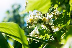 Jaskrawi kwiaty kwitnie kasztan w słonecznym dniu Obrazy Stock