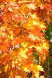 Jaskrawi liście klonowi w jesieni Zdjęcie Royalty Free