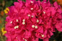 Jaskrawi menchia kwiatu Bougainvillea spectabilis Willd Obrazy Royalty Free