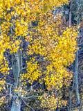 Jaskrawi Osikowi drzewa w Lee Vining w Kalifornia zdjęcia royalty free