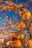 Jaskrawi persimmons na gałąź Obrazy Royalty Free