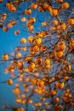 Jaskrawi persimmons na gałąź Obraz Stock