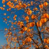 Jaskrawi persimmons na gałąź Fotografia Stock