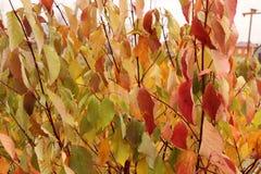 Jaskrawi piękni jesień liście - kolorowy jesieni tło Obraz Royalty Free