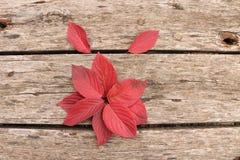 Jaskrawi piękni jesień liście na drewnianym tle Obraz Stock