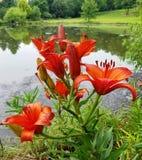 Jaskrawi pomarańczowi daylilies z odbijającym jeziornym tłem Zdjęcia Stock