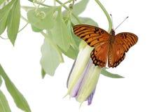 Jaskrawi pomarańczowi motyli zatoki Fritillary Agraulis vanillae na b Zdjęcia Stock