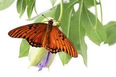 Jaskrawi pomarańczowi motyli zatoki Fritillary Agraulis vanillae na t Obrazy Royalty Free