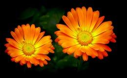 Jaskrawi pomarańczowi stokrotka kwiaty lub cynie Fotografia Royalty Free