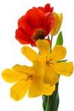Jaskrawi różnorodni tulipany na białym tle zdjęcie royalty free