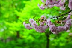 Jaskrawi różowi czereśniowi okwitnięcia Zdjęcie Stock