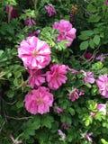 Jaskrawi różowi goździki Zdjęcia Royalty Free
