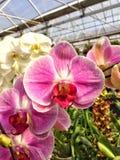Jaskrawi Różowi Phalaenopsis okwitnięcia Obraz Stock