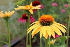 Jaskrawi rożków kwiaty Fotografia Stock