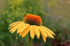 Jaskrawi rożków kwiaty Zdjęcie Royalty Free