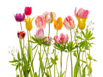Jaskrawi tulipanów liście i kwiaty Obrazy Stock
