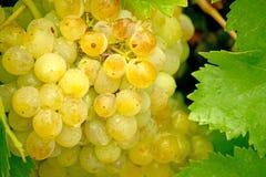 Jaskrawi złoci winogrono liście z wodą droplets1 i winogrona Fotografia Stock