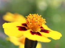 Jaskrawy Żółty Francuski nagietek Zdjęcia Royalty Free