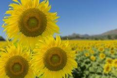 Jaskrawy Żółty niebieskie niebo i słonecznik Obrazy Royalty Free