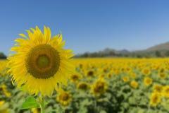 Jaskrawy Żółty niebieskie niebo i słonecznik zdjęcia stock