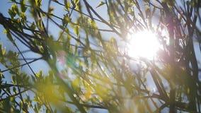 Jaskrawy światło słoneczne penetruje przez gałąź zakrywać z zielonymi liśćmi zdjęcie wideo