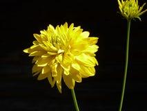 Jaskrawy żółty aksamitny kwiat na czarnym tle obrazy stock