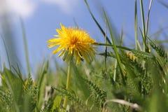 Jaskrawy żółty dandelion makro- między zieloną trawą w i paprociami wiosny świetle słonecznym i niebieskiego nieba tle zdjęcie royalty free