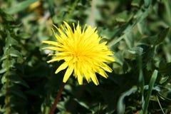 Jaskrawy żółty dandelion na zielonym tle Zdjęcie Royalty Free