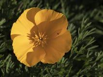 Jaskrawy żółty Eschscholzia Californica Obrazy Stock