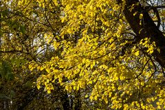 Jaskrawy żółty kolor jesień liście w słońcu Obrazy Stock