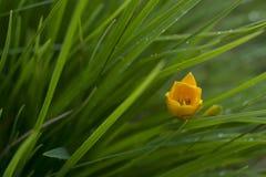 jaskrawy żółty kwiat, daylily, w zielonej trawie, raindrops zdjęcie royalty free