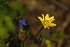 Jaskrawy żółty kwiat w zielonej trawie Fotografia Stock