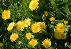 Jaskrawy żółty kwitnący dandelion Zdjęcie Stock
