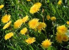 Jaskrawy żółty kwitnący dandelion Zdjęcie Royalty Free