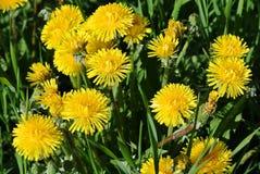 Jaskrawy żółty kwitnący dandelion Obrazy Stock