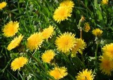 Jaskrawy żółty kwitnący dandelion Obraz Royalty Free