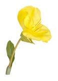 Jaskrawy żółty liść Missouri wieczór pierwiosnek i kwiat ja obrazy royalty free