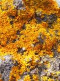 Jaskrawy żółty liszaj na popielatym kamieniu Zdjęcia Stock