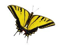 Jaskrawy żółty ogoniasty swallowtail motyl odizolowywający na białym tle Obraz Stock
