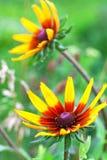 Jaskrawy żółty rudbeckia lub Z Podbitym Okiem Susan kwiat w ogródzie fotografia stock