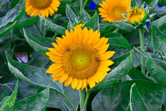 jaskrawy żółty słonecznik Obraz Royalty Free