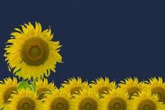 Jaskrawy żółty słonecznik i błękitny tło Obrazy Stock